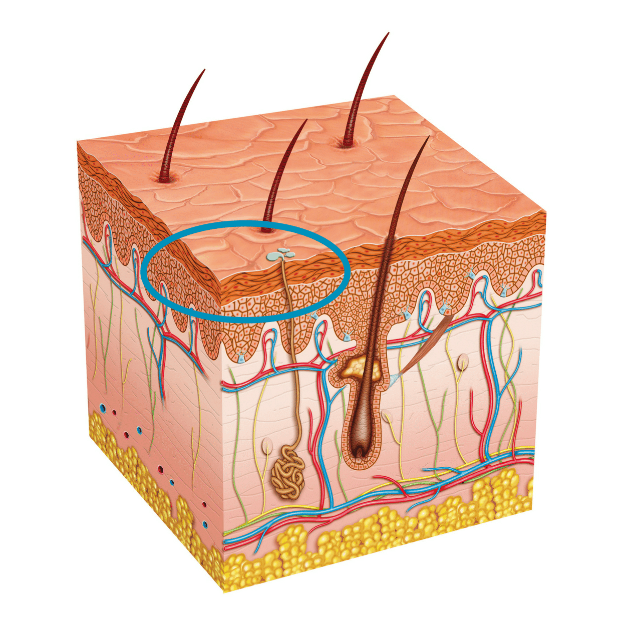 skin cell graphic